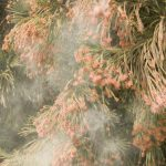 Central Texans, Beware Of Cedar Fever This Year – Texas Monthly   Pollen Map Texas