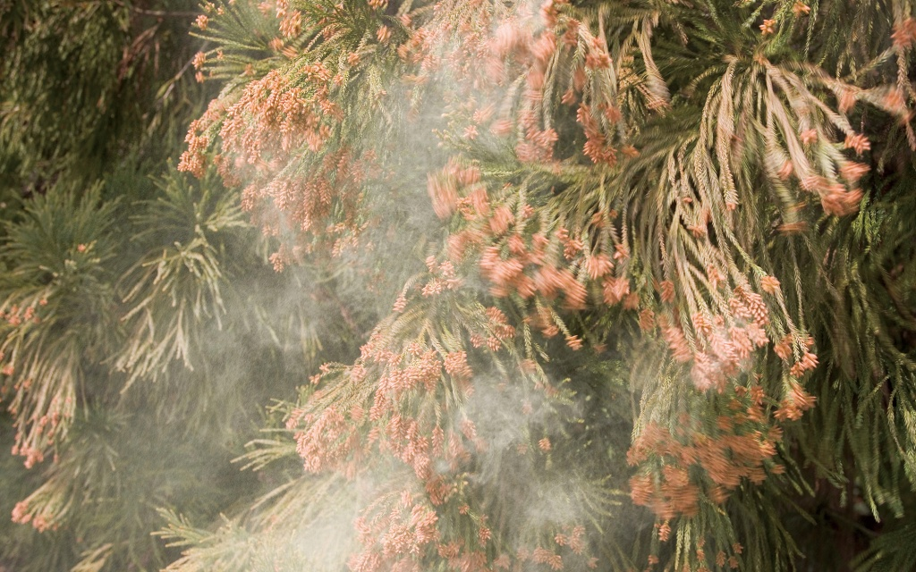 Central Texans, Beware Of Cedar Fever This Year – Texas Monthly - Pollen Map Texas
