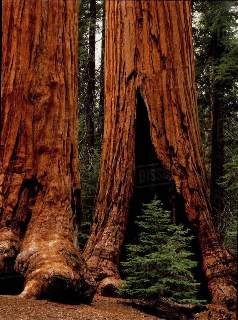 Giant Redwood Trees Of Sequoia National Park | World-Building In - Giant Redwood Trees California Map