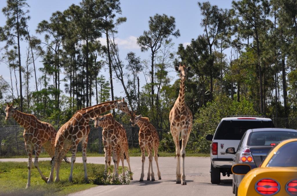 Lion Country Safari   South Florida Finds - Lion Country Safari Florida Map