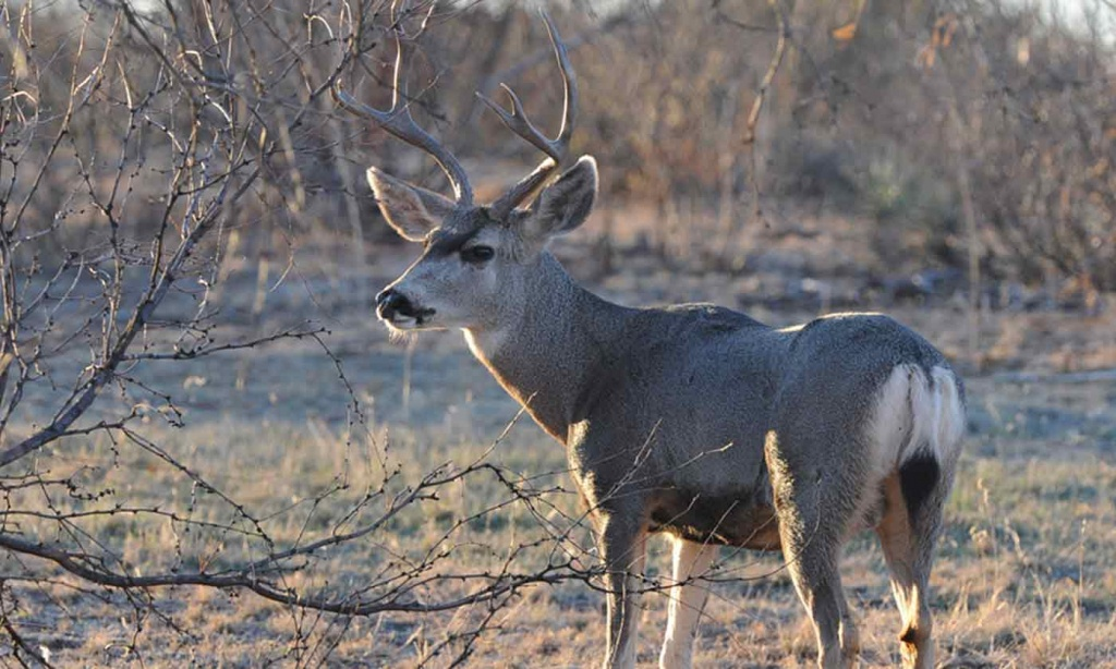 Mule Deer — Texas Parks & Wildlife Department - Mule Deer Population Map Texas
