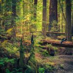 Travel Info For The Redwood Forests Of California, Eureka And   Redwood Forest California Map